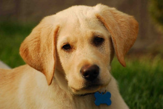 Labrador Puppies For Sale In Sacramento Ca